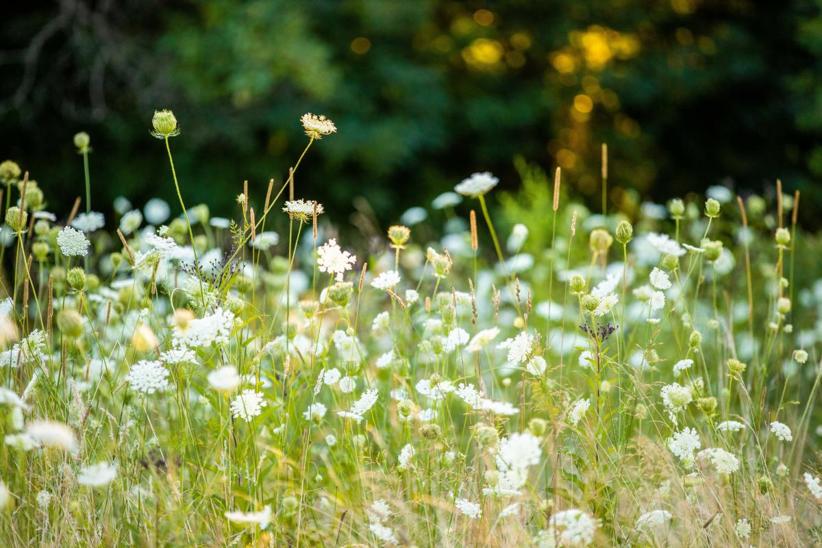 Close up of white flowers in a green field.